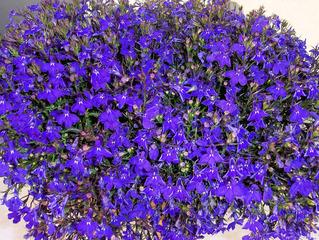 Lobelie - Männertreu - Lobelia erinus, blau, Lobelie, Lobelien, Männertreu, Glockenblumengewächs, Zierpflanze, Blume, Pflanze, blau