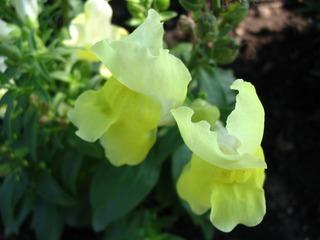 Löwenmäulchen #1 - Löwenmäulchen, Löwenmäuler, Wegerichgewächs, Sommerblume, gelb