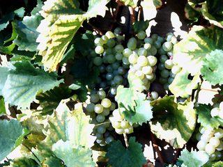 Weintrauben im Garten - Herbst, Garten, Weintrauben, Laub, Weinlaub, Trauben
