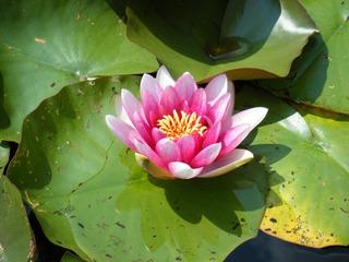 Seerose - Seerose, Wasserpflanze, Teich, Gewässer, Blüte, rosa, pink, Schwimmblätter