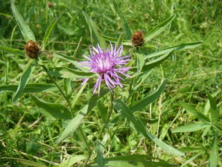 Wiesen-Flockenblume - Wiesen-Flockenblume, Flockenblume, Korbblütengewächs, Blütenkörbe, Röhrenblüte