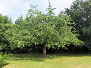 Kirschbaum #1 - Kirschbaum, Kirsche, Kirschen, Obst, Früchte, Natur, Baum, Krone, Früchte, Stamm, Blätter