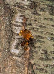 Kirschbaum #4 - Kirschbaum, Kirsche, Baumharz, Harz, Stamm, Rinde