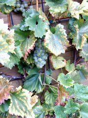 Weintrauben im Herbst - Garten, Herbst, Weintrauben, Blätter, Weinlaub, Rebe, Traube