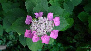 Hortensie #1 - Hortensie, Gartenhortensie, Hortensiengewächs, Blüte, Blütenblätter, lila