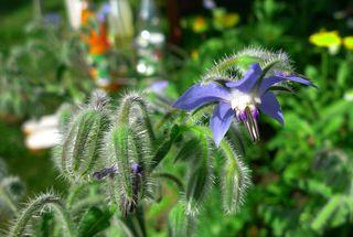 Borretsch #1 - Borretsch, Borago officinalis, Gurkenkraut, Gewürzpflanze, Heilpflanze, Blüte, Kelchblätter