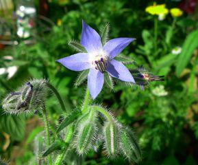 Borretsch #2 - Borretsch, Borago, Rauhblattgewächse, Boraginaceae, Gewürzpflanze, Heilpflanze, Blüte, Kelchblätter