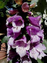 Fingerhut - Blüte, Fingerhut, rot, giftig, Arzneimittel, Wegerichgewächse