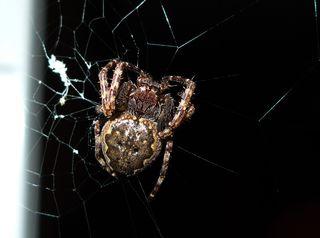 Kreuzspinne #1 - Spinne, Kreuzspinne, Spinnennetz, Webspinne, Radnetzspinne