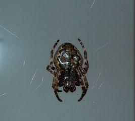 Kreuzspinne #3 - Spinne, Kreuzspinne, Spinnennetz, Webspinne, Radnetzspinne