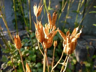 Fruchtstand Akelei - Akelei, Hahnenfußgewächs, Fruchtstand, Samen, Samenkapsel