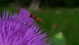 Schwebfliege #1 - Asternartige, Korbblütler, Klettfrucht, Cirsium vulgare, Distel, Kratzdistel, Schwebfliege
