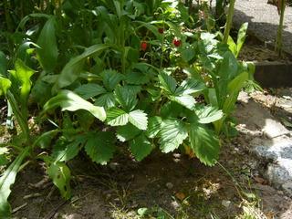 Walderdbeeren - Erdbeeren, Walderdbeeren, Pflanzen, Obst, Garten, Rosengewächs, Sommer, rot