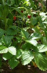 Walderdbeeren - Erdbeeren, Obst, wild, Pflanzen, Wald, Walderdbeere, Garten, Sommer, Früchte, rot, rief