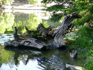 Wurzelholz - Baum, Wurzel, Holz, See, Zeitabschnitt, Kunst, Wurzelholz, Baumwurzel, Ökologie, Stoffkreislauf, Zersetzung