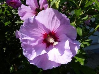 Hibiskusblüte #1 - Natur, Blüte, Hibiskus, Eibisch, Malve, Malvengewächs