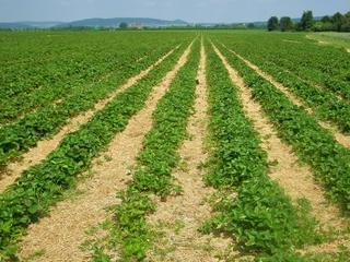 Erdbeerplantage - Erdbeerplantage, Erdbeeren, Plantage, Landwirtschaft, Früchte, Stroh