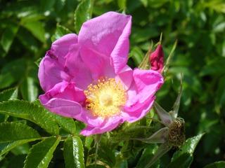 Wildrose - Wildrose, Strauchrose, Staubgefäß, Hagebutte