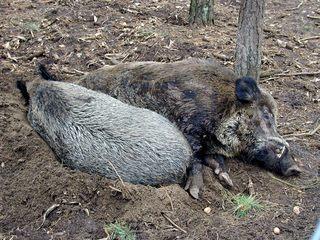 Wildschweine im Gehege - Wildschwein, Schweine, Paarhufer, Allesfresser, weltweit, Jagdwild, Keiler, Bache