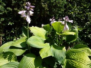 Funkien#1 - Funkien, Herzblattlilie, Agavengewächs, Staude, Zierpflanze
