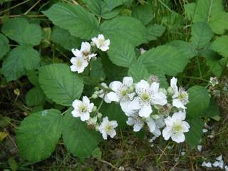 Blüten der Wildbrombeere - Brombeere, Blüte, Rubus, Kletterpflanze, Kelchblätter, Kronblätter, Staubblätter, Fruchtblätter