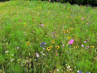 Bunte Blumenwiese - Blumen, Blüten, Pflanzen, Wiese, Blumenwiese, Grünland, Landwirtschaft, Gräser