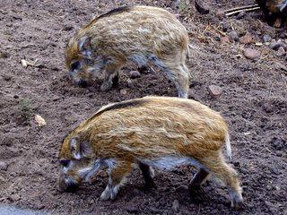 Frischlinge - Schweine, Paarhufer, Allesfresser, weltweit, Jagdwild, Frischlinge, Frischling, Wildschwein, Wildschweine