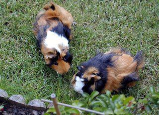 Meerschweinchen - Nagetiere, Hausmeerschweinchen, Südamerika, Pflanzenfresser, Gras, Meerschweinchen, Schreibanlass