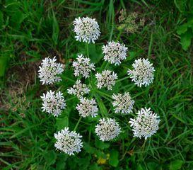 Doppeldolde - Laserpitium latifolium, Doppeldolde, Blütenstand, Pleiochasium, Scheindolde