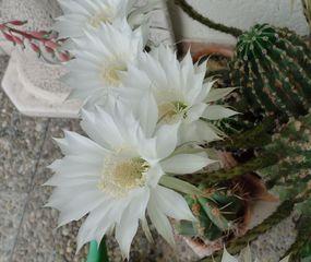 Königin der Nacht #1 - Königin der Nacht, Kaktus, Selenicereus grandiflorus, Blüte, Staubgefäß, blühen