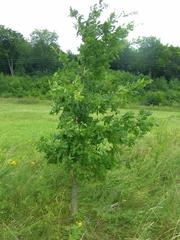 Eiche - Eiche, Baum, Laubbaum, Jungpflanze