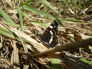 Schmetterling Landkärtchen #1 - Schmetterling, Landkärtchen, Sommerlandkärtchen Tagfalter, Araschnia levana, Edelfalter, Nymphalidae
