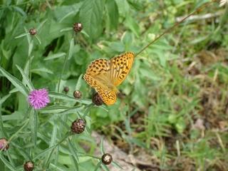 Schmetterling Kaisermantel - Schmetterling, Kaisermantel, Tagfalter, Argymnis paphia, Edelfalter, Nymphalidae