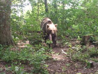 Braunbär - Natur, Tier, Wildtiere, Bär, Braunbär, Schreibanlass