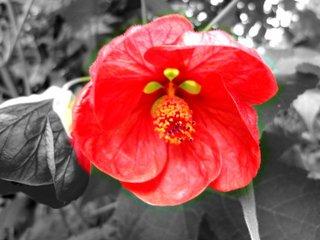 Abutilon (Schönmalve) - Blüte - Blüte, rot, Abutilon, Kübelpflanze, Malvengewächse, Malve