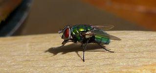 Goldfliege - Fliege, Schmeißfliege, Lucilia, Calliphoridae