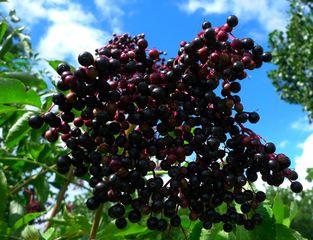 Holunder - Sambucus caerulea, Blauer Holunder, Steinfrucht, Moschuskrautgewächs