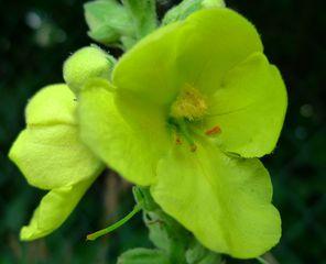 Nachtkerzenblüte - Nachtkerze, Nachtkerzengewaechs, Neophyten, Onagraceae, Oenothera