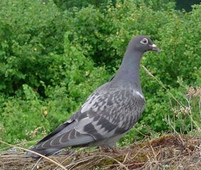 Taube - Taube, Taubenvögel, Brieftaube