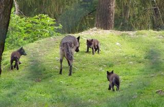 Wölfe, Wolfsjunge - Wolf, Wolfswelpen, Jungtier, Welpe