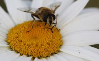Insekt auf Blume - Insekt, Pollen