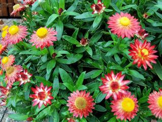 Strohblumen - Strohblumen, Strohblume, Bracteantha, Blume, Pflanze, Blüten, gelb, rot, blühen, Garten