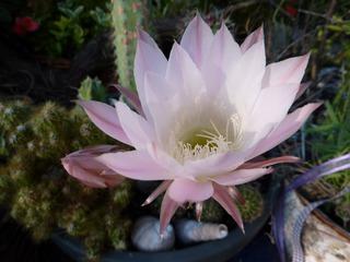 Blüte Königin der Nacht - Königin der Nacht, Kakteen, Selenicereus grandiflorus, Blüte, Staubgefäße, blühen