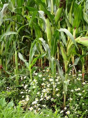 Maisfeld - Mais, Kukuruz, Stängel, Stiel, Kolben, Futter, Tierfutter, Nahrungsmittel, Landwirtschaft, Anbau, Kamille