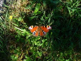 Tagpfauenauge - Schmetterling, Tagpfauenauge, Sachunterricht, Entwicklung, Falter, Schmetterlinge, Insekten, flattern, leicht, bunt