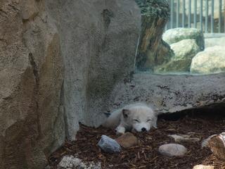Polarfuchs - Polarfuchs, weiß, Winterfell, Raubtier, Wildhundart, Einzelgänger
