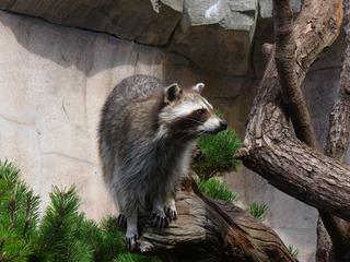 Waschbär - Bremerhaven, Zoo am Meer, Waschbär, Kleinbär, nachtaktiv, dämmerungsaktiv, Gesichtsmaske