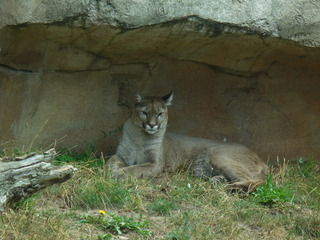 Puma - Breherhaven, Zoo am Meer, Puma, Berglöwe, Raubtier, Einzelgänger