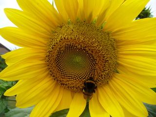 Hummel #1 - Hummel, Hautflügler, staatenbildendes Insekt, gelb-braun, Stachel, Arbeiterinnen, Drohnen, Königin, Sonnenblume, Korbblütler, groß, gelb