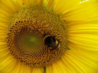 Hummel #2 - Hummel, Hautflügler, staatenbildendes Insekt, glb-braun, Stachel, Drohnen, Arbeiterinnen, Königin, Sonnenblume, Korbblütler, groß, gelb
